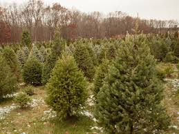 balsam tree 2017 christmas tree buying guide onmilwaukee