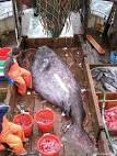 عکس های عجیب و بزرگ ترین ماهی