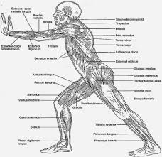 anatomy coloring pages muscles human anatomy system