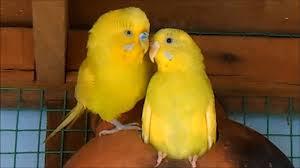 yellow lovebirds mating youtube