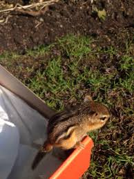 i saved a baby chipmunk that was drowning in my pool aww