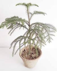 christmas tree plant indoor plants edible plants plants by purpose