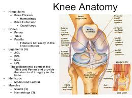 Knees Anatomy Sports Medicine Ii The Knee And Hip Mrs Marr Ppt Video Online
