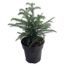 amazon com norfolk island pine the indoor christmas tree 6