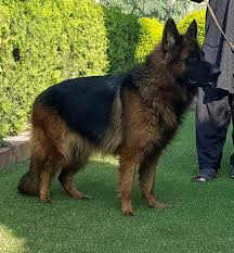 belgian shepherd for sale in islamabad black german shepherd dog for sale serious buyer only contact me