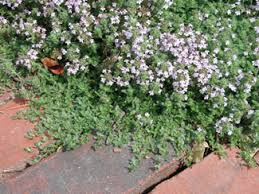 thyme creeping of thyme