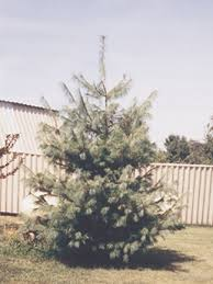 eastern white pine tree for sale fast growing conifer trees