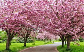 shillong is hosting india u0027s own cherry blossom festival condé