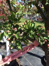 Profusion Flowering Crabapple - nursery trees wolcyn tree farms near st cloud mn