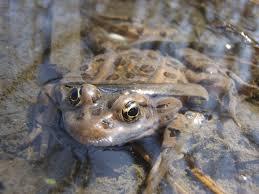 leopard frog and tadpole care sheet u003e u003e amphibian care