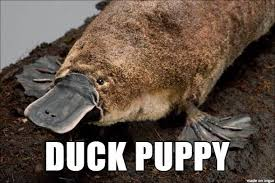 Platypus Meme - platypus funny names for animals ppffftttt pinterest