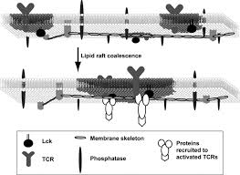 cold induced coalescence of t cell plasma membrane microdomains