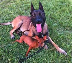 belgian sheepdog massachusetts chris park dog trainer boston