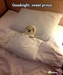 Goodnight Meme Cute - goodnight sweet prince dog funny meme photo bajiroo com