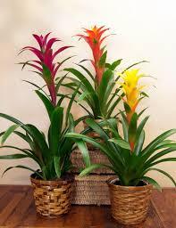 Indoor Flowers Bromeliad Plant Tropical Plants Indoor Plants Tucson Florist