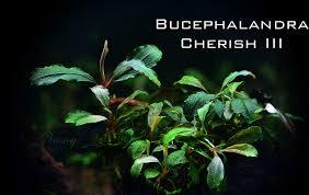 Aquascaping World Fs Bucephalandra Collection Ape Aquatic Plant Enthusiasts A