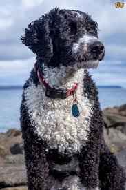 Do All Short Haired Dogs Shed by Spanish Water Dog Dog Breed Information Buying Advice Photos And