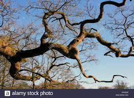 ancient oak tree branches twisted branches against a blue sky