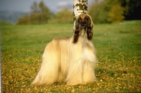 afghan hound of america afghan hound breed info and care