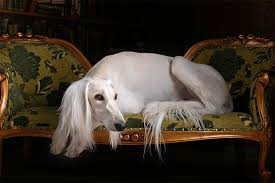 afghan hound good and bad saluki dog breed information pictures characteristics u0026 facts