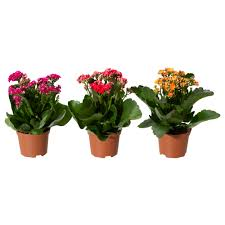 potted flowers kalanchoe potted plant ikea