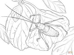printable katydid insect coloring pages printable for kids