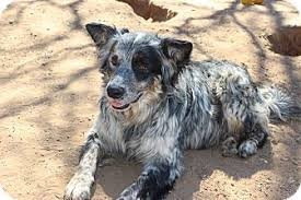 australian shepherd cattle dog mix parker adopted dog burleson tx australian shepherd