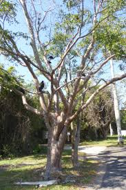 native plants of south florida 55 best for the garden images on pinterest garden the o u0027jays