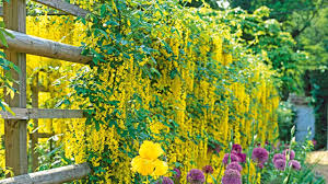 which climbing plants are best for your garden scrambling