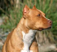 american pitbull terrier types american pit bull terrier an easygoing good natured loyal and