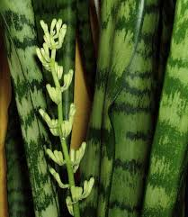 mother in laws tongue plant do sansevierias mother in laws