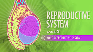 Physiology Videos Thought Café The Second Of Four Videos On The Reproductive
