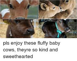 Funny Cow Memes - 25 best memes about baby cow baby cow memes
