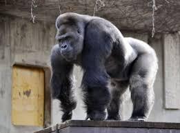 Funny Gorilla Memes - gorilla meme best collection of funny gorilla memes