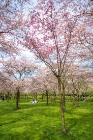 cherry blossom trees in amsterdam a7rii batis85 sonyalpha