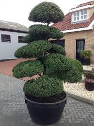 Topiary Cloud Trees - orchard nuseries buxus plants evergreen hedging topiary plants