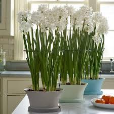 paperwhites u0026 bulb gardens white flower farm
