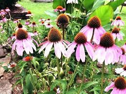 indian plant names coleus aromatic indian plant names coolman club