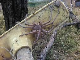australia freaking enormous huntsman kiis 1065 sydney
