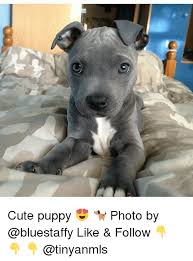 Cute Puppy Memes - staffy cute puppy photo by like follow meme on