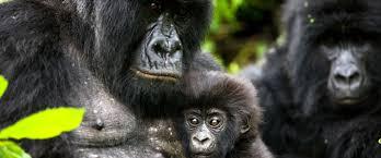 orphan gorillas at senkwekwe center gallery virunga national park