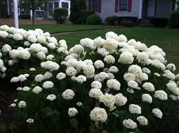 white hydrangeas hydrangeas city garden ideas