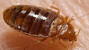 sofa bugs that bite what do bed bug bite look like and how to treatment termites blog