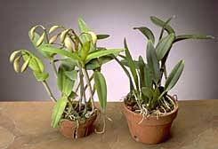 cattleya orchids cattleyas for the beginner part 1