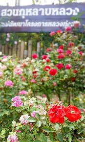 mangoguide thailand huay pak pai royal rose garden