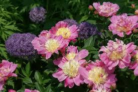Peonies Season Visit My Garden Mid Season Peonies At Olbrich