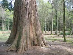 monumental trees along the rhinefield ornamental drive in lyndhurst