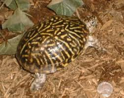 about the eastern and western box turtle