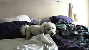 bichon frise jumping crazy bichon frise dog wildly jumping on u0026 off bed many times