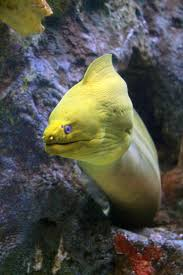 Seeking Eel The Green Moray Eel Is A Blue Grey Fish With A Yellow Mucous
